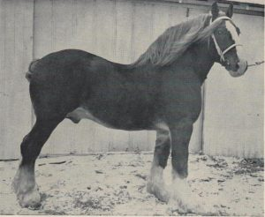 Sorrel Cloud, Shire Stallion.