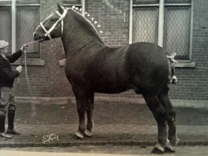 suffolk stallion